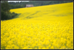 Landscape (mmoborg) Tags: yellow field raps sweden mmoborg landscape