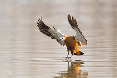 Ruddy Shelduck (Tadorna ferruginea) 赤麻鸭 chì má yā (China (Jiangsu Taizhou)) Tags: nikon d5 600mm afsnikkor600mmf4gedvr birds 2017 china birdsofchina jiangsu nanjing 江苏南京 wildlife birding shorebird ruddyshelduck tadornaferruginea 赤麻鸭 chìmáyā ngc nationalgeographic birdwatching birdwatcher forest lake pond