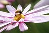 Honeybee on the Daisy (Johnnie Shene Photography) Tags: honeybee daisy perching resting awe wonder bee hymenoptera hymenopteran insect bug feeding behaviour sideview nature natural wild wildlife livingorganism tranquility adjustment fulllength macro closeup magnified animal flower flora floral photography horizontal outdoor colourimage fragility freshness nopeople foregroundfocus depthoffield bokeh animalandplant korea asia chrysanthemum spring day daylight elegance interesting canon eos600d rebelt3i kissx5 tamron 90mm f28 11 lens 꿀벌 벌 국화 데이지 motion moment stockphoto stunning fabulous gorgeous sumptuous alluring