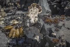 The beautiful complex west coast oyster (Freshairphotography) Tags: oyster westcoastoyster seacreature bivalvemollusk mollusk bivalve ostreidae vancouverisland nature complex beautiful unique westcoast britishcolumbia pacificocean interesting intertidal beach