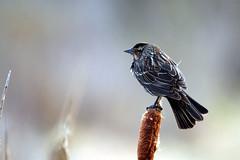 IMG_6609 (vipermikey) Tags: banff banffnationalpark bird alberta canada canadianrockies vermillionlakes hike rockies rockymountains parkscanada nature mountains