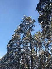 snowsnow (elinapoisa) Tags: riga winter trees snow snowy