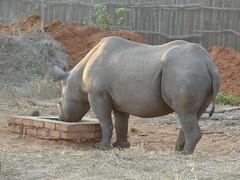 P1140595 Zimbabwe (31) (archaeologist_d) Tags: zimbabwe zambezinationalpark wildlife blackrhinoceros rhinoceros africa southernafrica safari