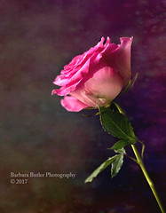 A Rose (RedHatGal: Barbara Butler/FireCreek Photography) Tags: pink rose singleblossom texturedbackground stilllife barbarabutlerphotography redhatgal