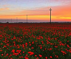 Telegraph road (Robyn Hooz) Tags: telegraph road poppies papaveri alba cielo chiaro arancio rosso landscape view veneto lovemyland