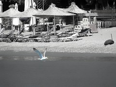 The seagull and the sand. (panoskaralis) Tags: seagull seabirds sea sealife seafront bluesea seascape seaside birds beach tartibeach tarti shore coast water waterfront umbrela sun sunlight summer greeksummer summerholidays holidays aegean aegeansea outdoor landscape sand swimming island lesbian lesbos lesvosisland lesvos mytilene greece greek hellas hellenic blackwhite bw