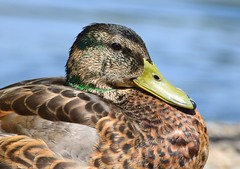 Mallard (careth@2012) Tags: mallard nature wildlife duck britishcolumbia portrait headshot beak feathers bird