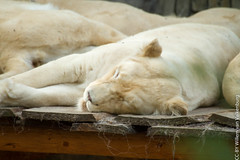 IMG_0606.jpg (wfvanvalkenburg) Tags: ouwehandsdierenpark familie lion