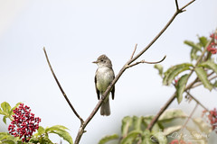 097A7367_edit_resized_wm (Lisa Snow Photography) Tags: willow flycatcher