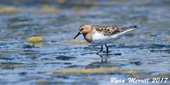 Red-necked Stint (rjm284) Tags: birds birding wa washington rjm284 rnst redneckedstint adult july fall crockettlake whidbeyisland islandcounty