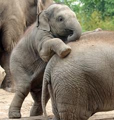 asiatic elephant Blijdorp JN6A8887 (joankok) Tags: elephant olifant aziatischeolifant asiaticelephant blijdorp mammal zoogdier dier azie asia animal bijdorp herbivore