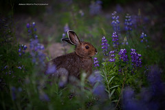 Snowshoe Hare (ArmanWerthPhotography) Tags: snowshoehare manningprovincialpark armanwerthphotography lupine