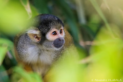 Squirrel Monkey (Alexandre D_) Tags: canon eos 70d sigma sigma120400mmf4556oshsm 120400mm green color colors colorful monkey saimirinae saimiri squirrelmonkey singeecureuil singe sapajou pairidaiza belgium belgique zoo animal animals worldofanimals earth nature natural light portrait cute small little nice ape