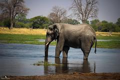 Elephant Bull in the Khwai River (pbmultimedia5) Tags: khwai river botswana elephant bull nature wildlife national reserve pbmultimedia africa
