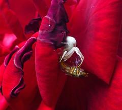 Lunch (ArtGordon1) Tags: crabspider hunter arachnid arachnids spider rose petals walthamstow london england uk davegordon davidgordon daveartgordon davidagordon daveagordon artgordon1