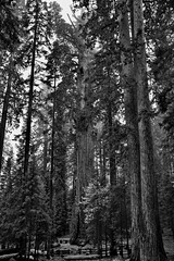 Tall, Tall, Tall Sequoias and Redwoods (Black & White, Sequoia National Park) (thor_mark ) Tags: nikond800e day8 triptopasoroblesandyosemite sequoianationalpark lookingsw capturenx2edited colorefexpro blackwhite silverefexpro2 sequoiaandkingscanyonnationalparks unescosequoiakingscanyonbiospherereserve sequoiakingscanyonbiospherereserve giantsequoias outside trees hillsideoftrees evergreens landscape nature talltrees talltreesallaround sequoiadendrongiganteum lookingup lookingupatsky lookingupatskythroughtrees lookingupatskythrutrees lookinguptosky overcast redwoods pacificranges sierranevada sequoiasierranevada westernsequioakingscanyonarea walktothegeneralshermantree thegeneralshermantrail thegeneralshermantree largestbyvolumetreeintheworld project365 california unitedstates