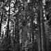 Tall, Tall, Tall Sequoias and Redwoods (Black & White, Sequoia National Park)