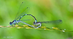 Mating damselfly (Greet N.) Tags: insect damselfly mating nature macro wheel animal
