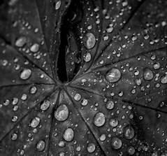 Raindrops at leaf (MortenTellefsen) Tags: raindrop raindrops leafs leaf bw blackandwhite blackandwhiteonly plants macro makro monochrome norway nature norwegian natur norsk blad regndråpe regndråper svarthvitt