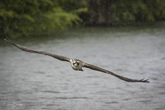 Blythe Ferry Osprey 5 (Jason Blalock) Tags: osprey pandionhaliaetus fisheagle seahawk riverhak fishhawk bird birdofprey raptor avian