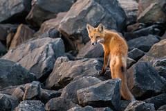 Red Fox Kit........ (photodawg2008) Tags: fox foxkit wildlife redfox ohiowildlife nature vulpesvulpes vixens youngcub pups