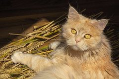 Pawsome harvest (FocusPocus Photography) Tags: linus katze kater cat chat gato tier animal haustier pet weizen wheat getreide crop grain ernte harvest
