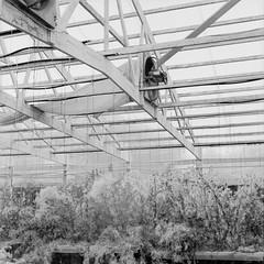 Abandoned Greenhouse [7] (jwbeatty) Tags: 120 abandoned analog bw blackwhite blackandwhite building fan film filmphotography filmisnotdead greenhouse hasselblad hasselblad500cm illinois ishootfilm kodak longgrove mediumformat monochrome overgrown trix weeds zeissplanart80mmf28