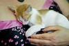 Cuddled Cat 2 (C & R Driver-Burgess) Tags: ginger kitten woman pink cherry blossom design black silk top purple nails