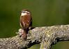 _53F7576 Carolina Wren (~ Michaela Sagatova ~) Tags: birdphotography canonphotography carolinawren michaelasagatova wren
