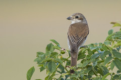 Red-Backed Shrike - female (Bill Richmond) Tags: redbackedshrike female laniuscallurio laniidae hungary car nikond810 nikonf4500mm