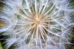 * La Pioggia che non c'è * Rain that there isnt * (see date of photo) * (argia world 1) Tags: soffione macro dandelion pianta plant pioggia rain goccedipioggia raindrops
