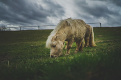 Ride My Pony (HFF) (der_peste (on/off)) Tags: hff fence pony horse animal pet lowpov pov green dark moody sombre mood atmosphere cold coldcolors sonya7ii sonya7m2 sel35f14z 35mm f14