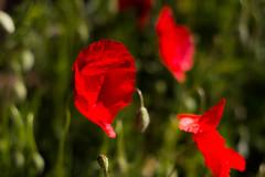 Amapolas del Montsec (efe Marimon) Tags: canoneos70d felixmarimon montsec primavera amapolas