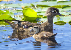 Before And After (Scott M. Mohn) Tags: birds woodduck animals nature pair duck duckling water lake lilypads hen swimming waterfowl summer minnesota colorful cute aixsponsa perchingduck carolinaduck wetlands migratory birdwatching avain sony ilca77m2