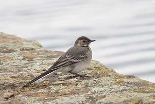 Juvenile Pied Wagtail...........