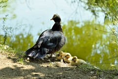 _DSC3361 (SLVA49) Tags: animales libertad familia cria lago estanque nikon df 70200mm