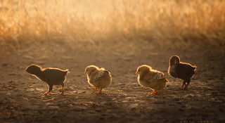 Chicks series