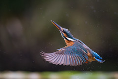 Out and up....... (Mr F1) Tags: kingfisher alcedoathis wild johnfanning nature outdoors detail hunter hunting wings flying water droplets uk electric blue martin pêcheur martinpêcheur