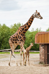 "Rothchild's Giraffe (Giraffa camelopardalis rothschildi) • <a style=""font-size:0.8em;"" href=""http://www.flickr.com/photos/94209416@N06/35142865265/"" target=""_blank"">View on Flickr</a>"