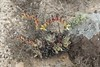 Dudleya (S_Crews) Tags: mexico bajacaliforniasur dudleya plant endemic