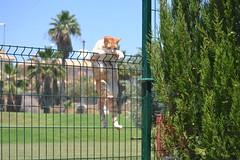 Gino (En memoria de Zarpazos, mi valiente y mimoso tigre) Tags: gino pezuñotas gato gatto cat kat katt pushi pishi kot chat katze mio neko cc100