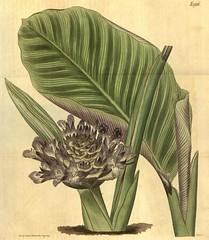 Anglų lietuvių žodynas. Žodis marantaceae reiškia <li>marantaceae</li> lietuviškai.