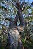 Gnarly Bark (Glenn Radford GRP) Tags: track jervis bay trees gnarly bark tree forest woods woodland wood glennradford photography australia new south wales national park nature nikond800 old wild wilderness landscape