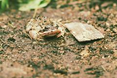 P1440458_1 (Sergei Spiridonov) Tags: frog manualfocusing jupiter37a13535 lumixgm1