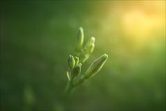 UNT. (-Simulacrum-) Tags: flowerbud flower nature nikond5300 sigma1750mmf28 creative dof depthoffiled beautifulnature beautiful soft plant green