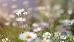 Love Me.. Love Me Not.. (KissThePixel) Tags: daisy daisies dainty beautiful beauty bokeh macro saturday mygarden garden cottage cottagegarden summer summerdays nikondf sigma sigmaart 50mm aperture soft pastel 14 f14 depthoffield delicate sunlight dof dofalicious