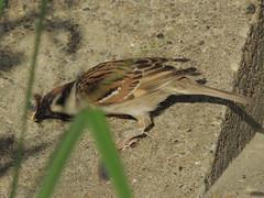 Eurasian Tree Sparrow/Passer montanus