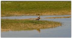 Nijlgans (Ruud Severijns) Tags: nijlgans nature noord hollands duinreservaat