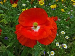 Poppy (ArtGordon1) Tags: walthamstow walthamstowvillage meadow london england uk e17 davegordon davidgordon daveartgordon davidagordon daveagordon artgordon1 wildflowers flowers