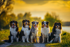 Gang Of Five (Stefan (back from Scotland, but need some time)) Tags: dog dogs aussies aussie australianshepherd shepherd dof dogface dogportrait shallowdepthoffield depthoffield 135mm sonya7m2 tamino dexter soulmates souldogs hunde sigmaart sigma f18 13518 18135